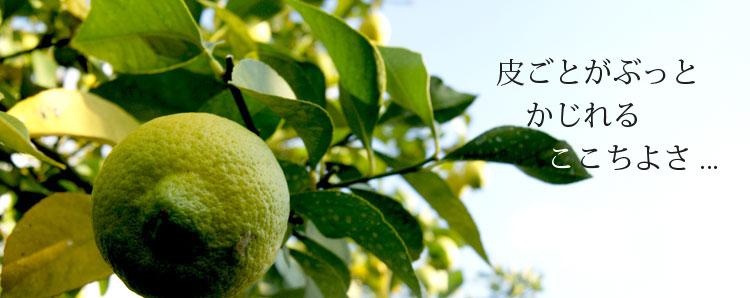 完全無農薬レモン、有機栽培レモンだからこそできる、皮ごとがぶっとかじれるここちよさ